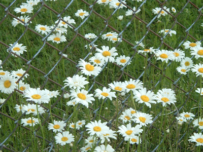 [Photo: Leucanthemum vulgare.]