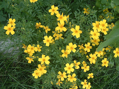 [Photo: Tagetes tenuifolia 'Lulu'.]