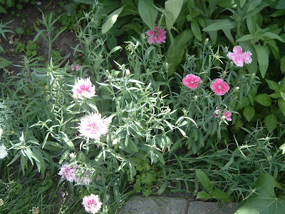 [Photo: Dianthus chinensis 'Double Gaiety Mixed'].