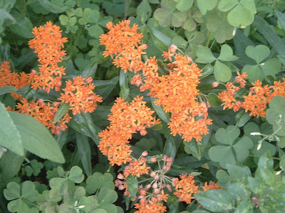 [Photo: Asclepias tuberosa.]