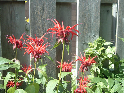 [Photo: Monarda didyma.]