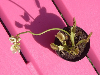 [Photo: Dionaea muscipula in bloom.]