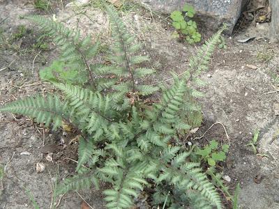 p[Photo: Athyrium niponicum var pictum 'Applecourt'