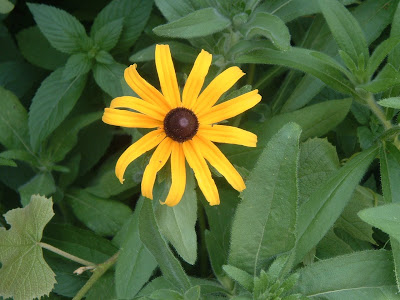 p[Photo: Rudbeckia hirta.]