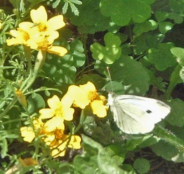 [Photo: Cabbage butterfly on Tagetes tenuifolia 'Lulu'.]