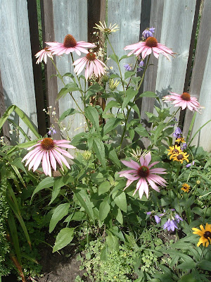 [Photo: Echinacea purpurea, with native Rudbeckia hirta and invasive Campanula rapunculoides.]