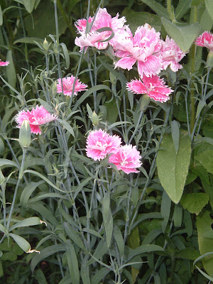 [Photo: Dianthus chinensis 'Double Gaiety Mix' in bloom.]