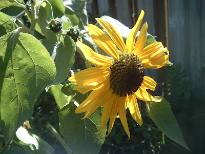 [Photo: Helianthus annuus.]