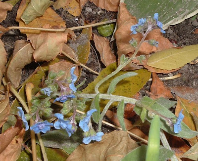[Photo: Myosotis sp.]