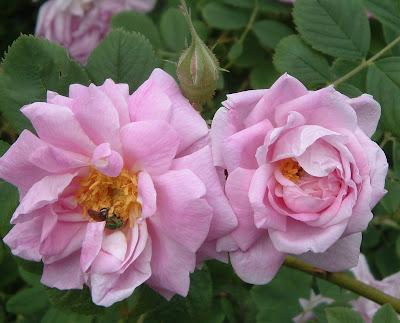 [Photo: Rosa.]