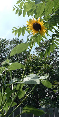 [Photo: Helianthus annuus and leaves of Juglans nigra.]