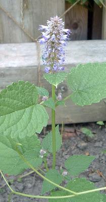 [Photo: Agastache foeniculum.]