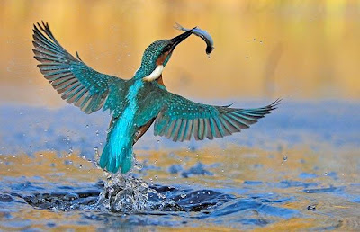 photo of kingfisher from Creative Commons