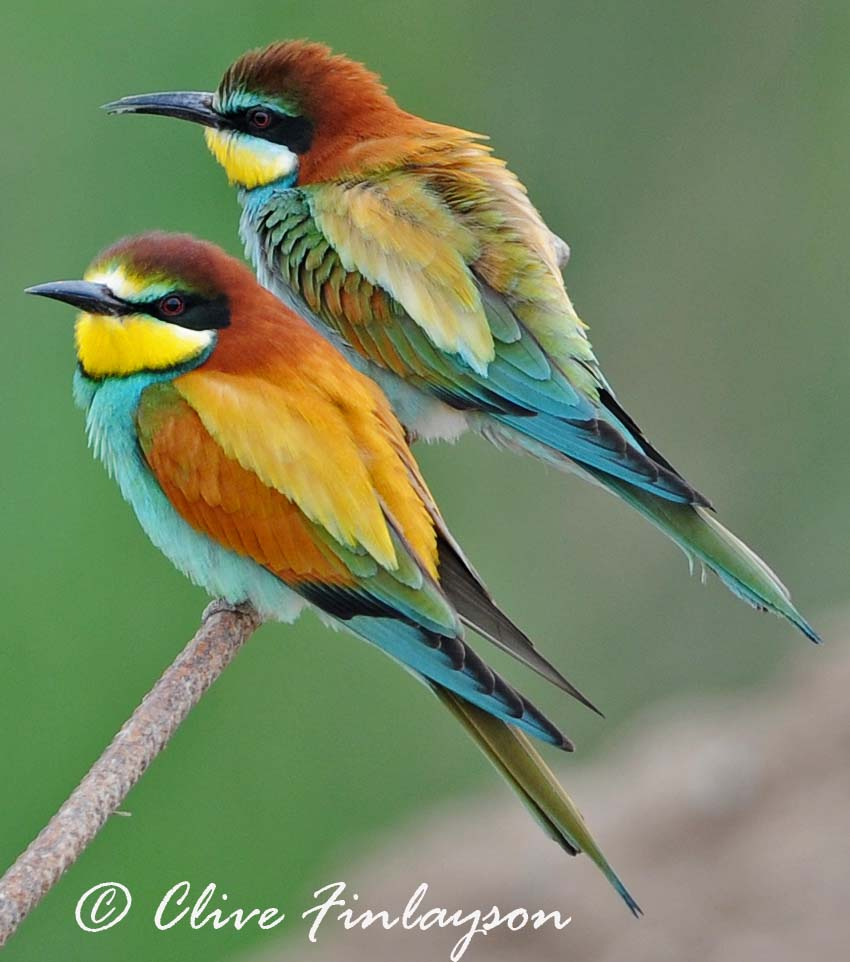 natur al andalus european bee eater bird of 2010