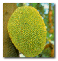 The National fruit of Bangladesh