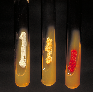 Slant cultures of several actinomycetes