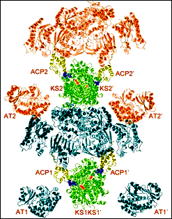 A model of the PKS12 protein