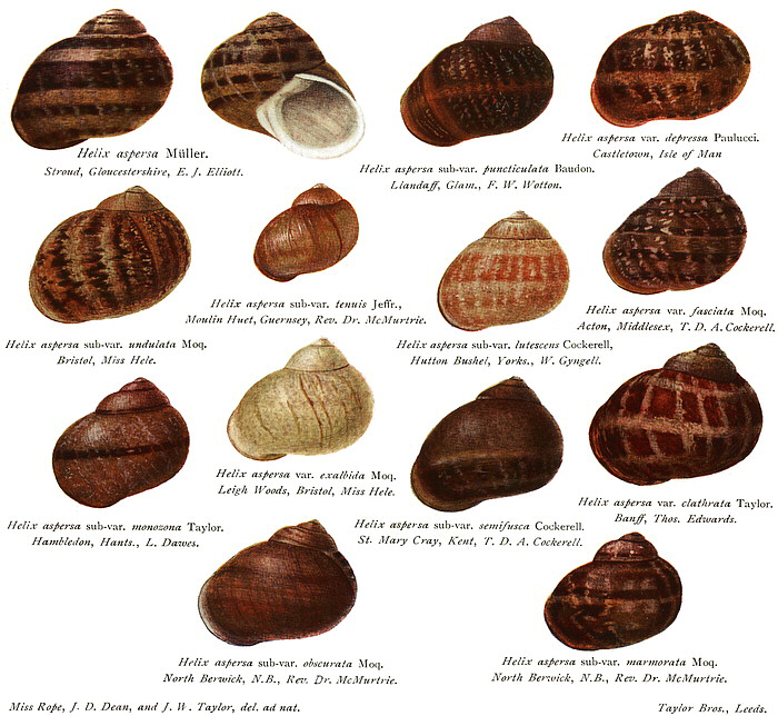 Helix Aspersa, Known By The Common Name Garden Snail, Is A Pulmonate  Gastropod That Is One Of The Best Known Of All Terrestrial Molluscs.
