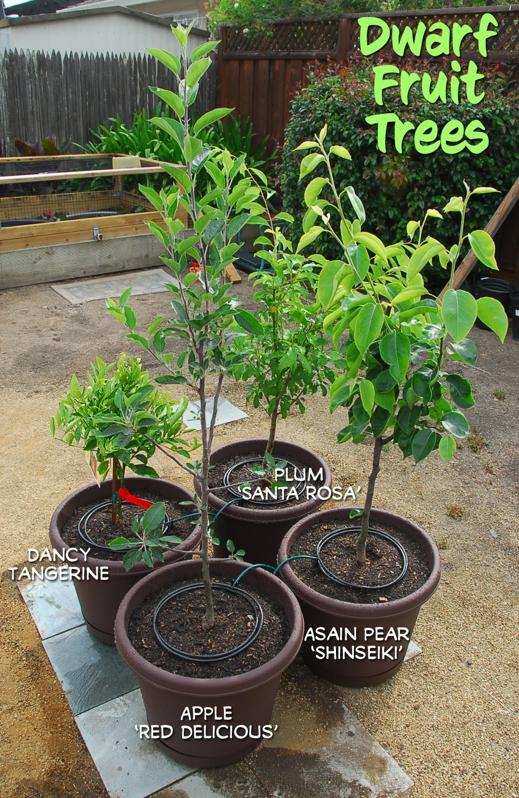 four new fruit trees potted