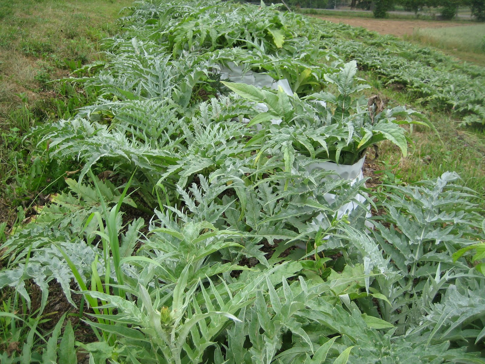 Image result for the Cardoon