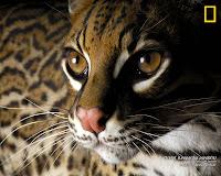 Ocelote - Leopardus Pardalis
