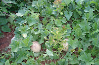 Cantaloupes on the vine