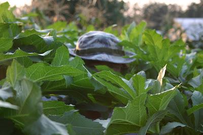 Jonathan Eller hiding in his okra patch