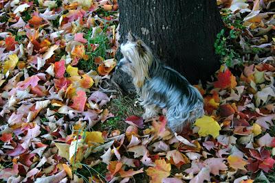 My sister's Yorkshire Terrier, Zippy, in the fallen leaves.