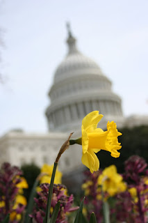The Capitol Building tilted at a jaunty angle in the background with a jonquil in the foreground