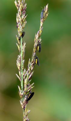 Fungus gnats Sciara hemerobioides. Photo: John Gill