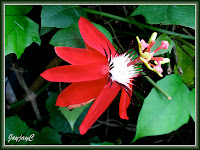 Passiflora coccinea (Red granadilla)