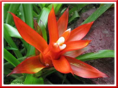 Guzmania lingulata var. minor (Orange/Scarlet Star)