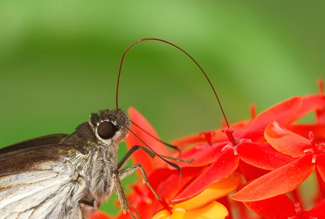 Med hjälp av sin långa snabel (proboscis) kommer fjärilen åt blommans nektar.