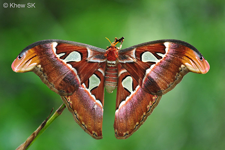 A newly-eclosed Atlas Moth - a common moth species found at MOG