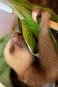 Cute Baby Sloth Pictures