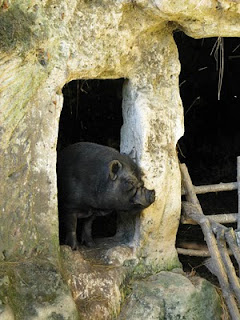 Pig on Troglodyte farm, France