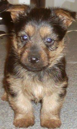 Nutrisystem australian terriers puppies for sale