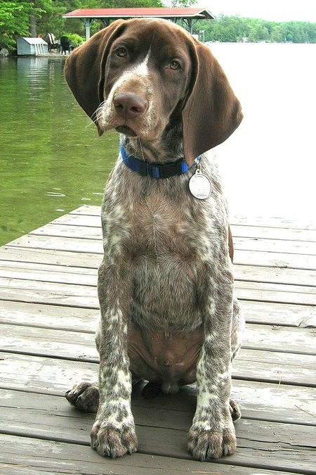 short haired springer spaniel image search results