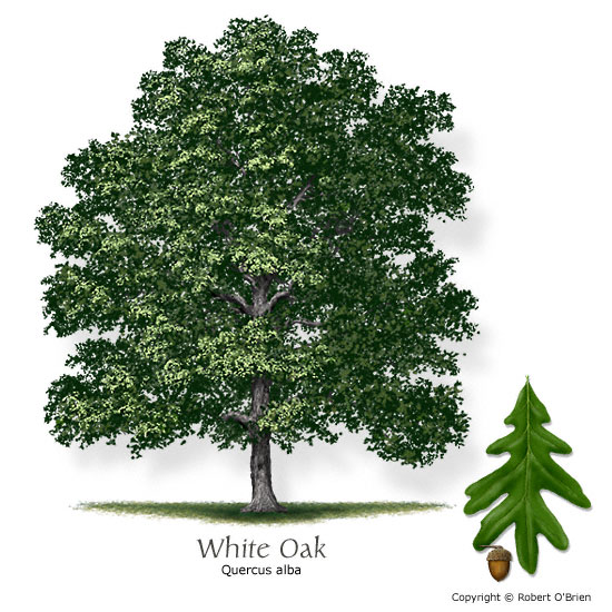 Timberland game management tree of the week white oak