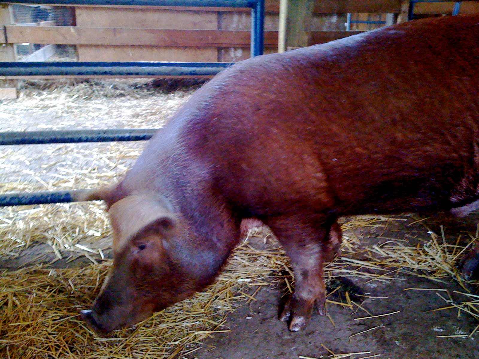 farmed animals or tales of a volunteer barncleaner
