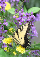Tiger Swallowtail Butterfly in the Atlanta Botanical Garden