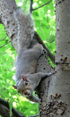 Piedmont Park Resident - Squirrel
