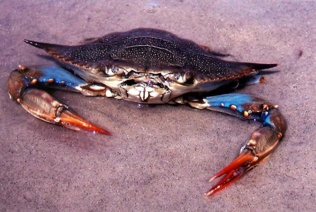 National geographics blue crab pictures for Blue crab fishing