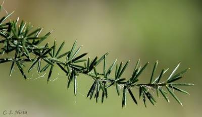 asparagus acutifolius, detalle de los cladodios