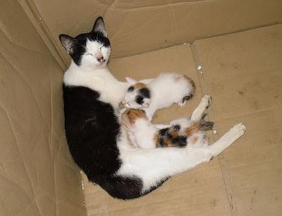 gambar ibu kucing tengah menyusukan anak