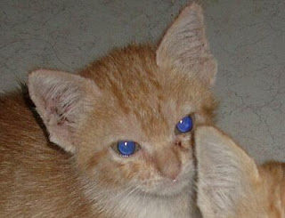 picture of blue kitten eyes