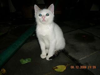 gambar anak kucing putih