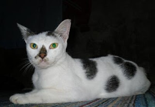 beautiful white cat with black spots on his body