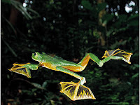 Katak Terbang [Wallace's Flying frog]