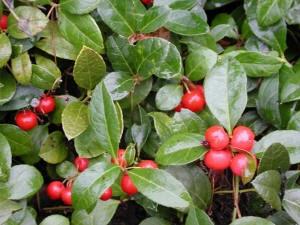 Les folles avoines plantes comestibles et utiles du qu bec gaultheria procumbens th des - Plante a la gomme ...